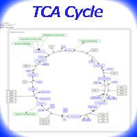 Citric Acid Cycle for Energy