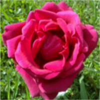 Magenta Rose Love