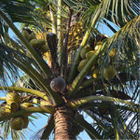 Coconut Palm Tree of Life